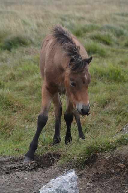West Devon : Dartmoor Pony