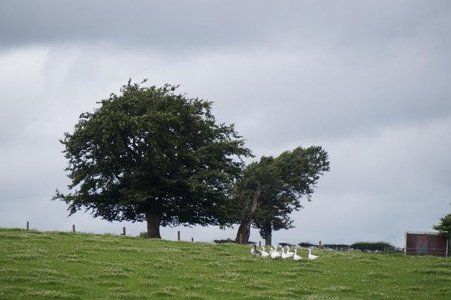 Geese in a field near Gorebridge