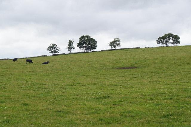 Cattle in a field near Gorebridge