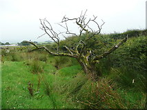 SD7657 : Dead tree next to the footpath from Heath Farm to Longtons Lane, Gisburn Forest by Humphrey Bolton