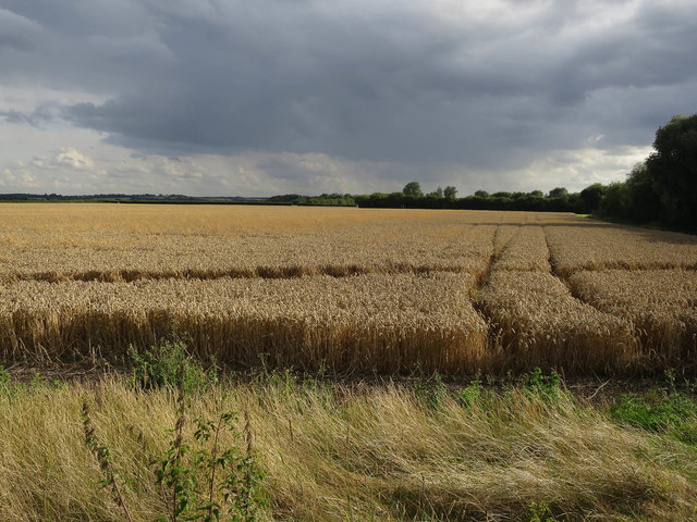 Wheat field by the busway