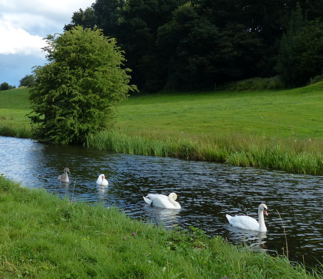 Swans and goose on the Leeds and Liverpool Canal