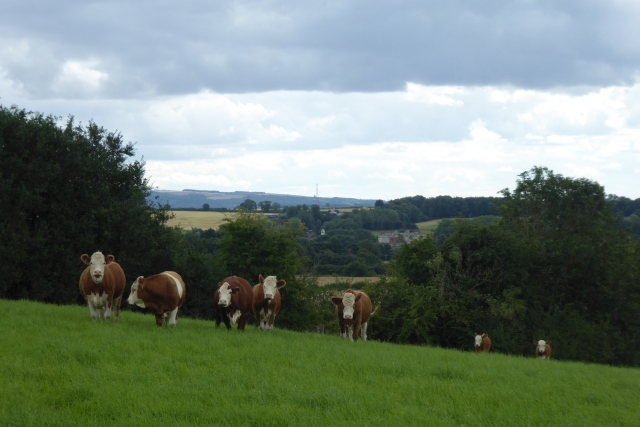 Cattle above Clay Hall