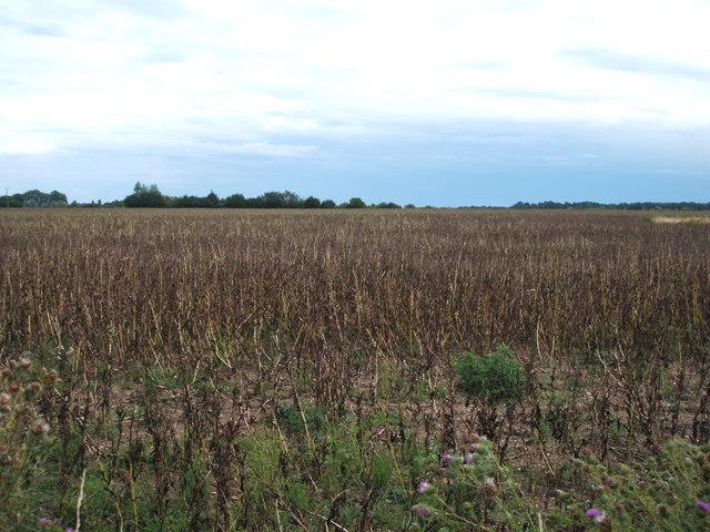 Crop field, Benedict Otes