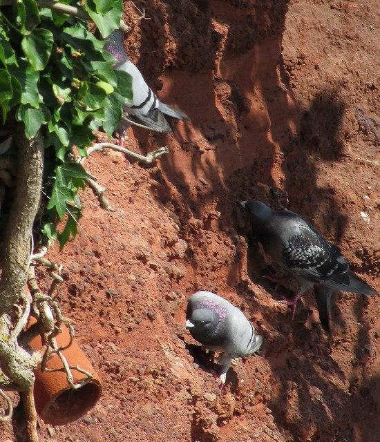 Pigeons, Corbyn's Head