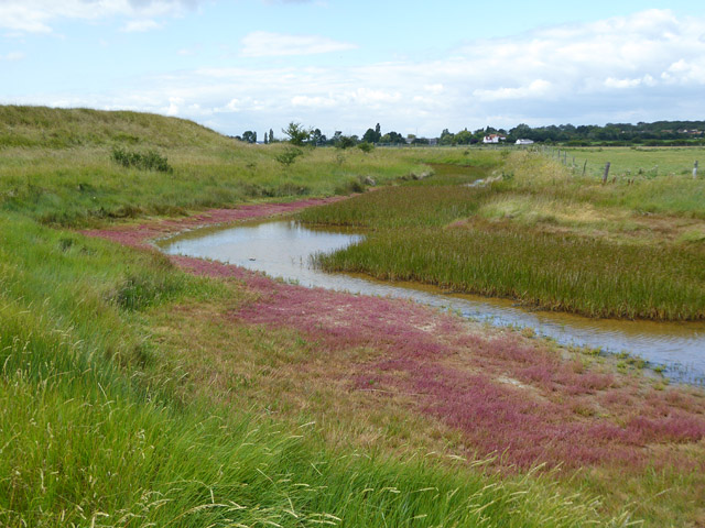 Red glasswort fringing borrow dyke