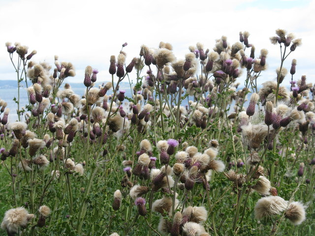 Thistle and down at Cramond