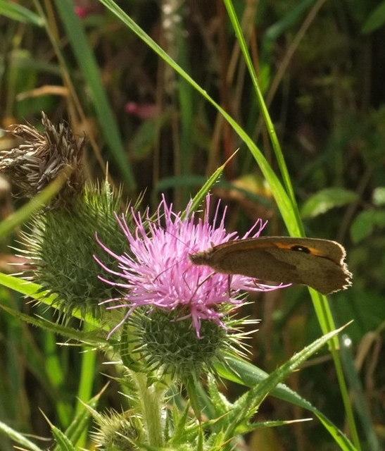 Butterfly on thistle near Sharpham Barton
