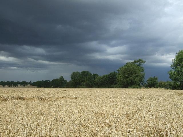 Cereal crop off Hastingwood Road