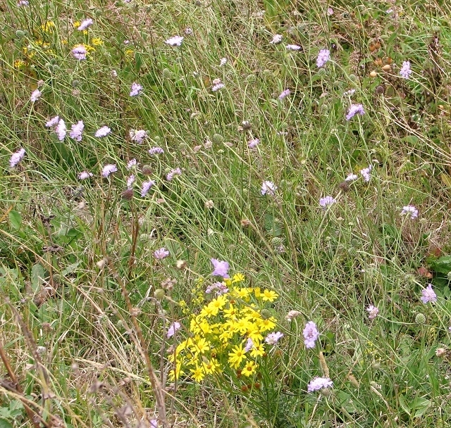 Ragwort and Small scabious