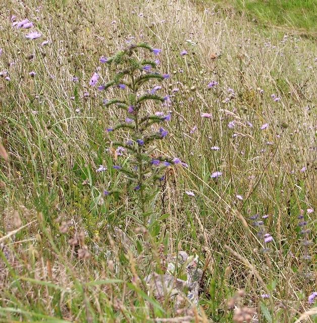 Viper's bugloss (Echium vulgare)