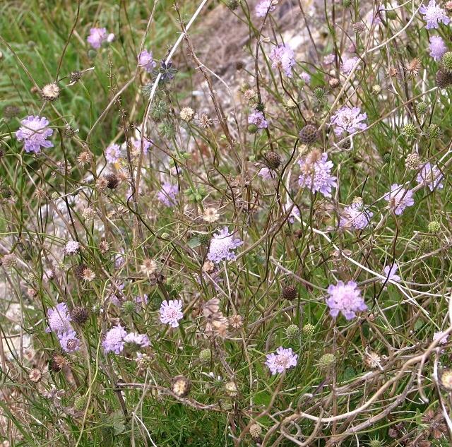 Small scabious (Scabiosa columbaria)