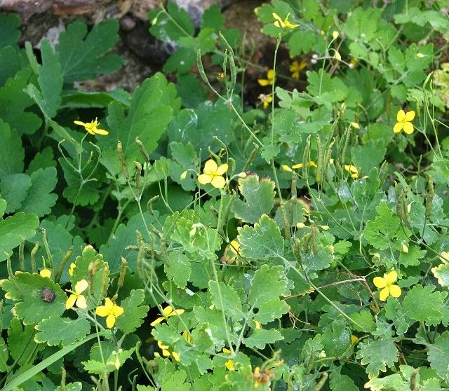 Brassica sp