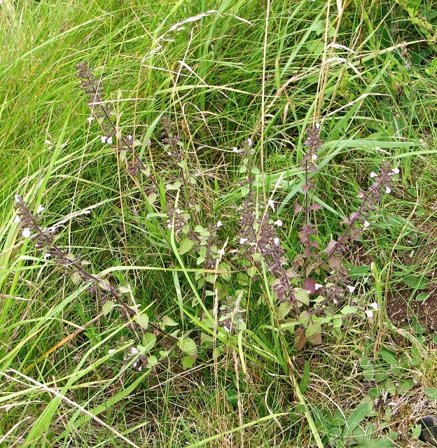 Common Calamint  (Clinopodium ascendens)