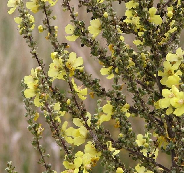 Verbascum sp - flowers