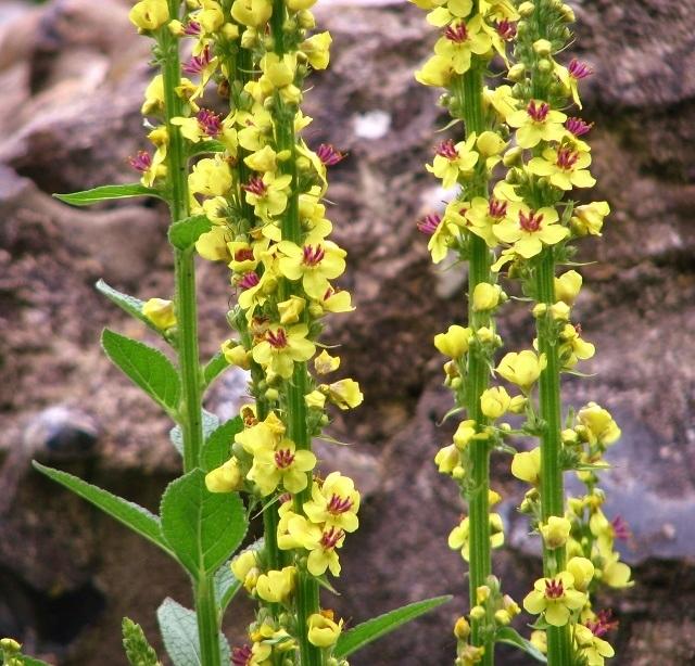 Dark mullein (Verbascum nigrum) - flowers