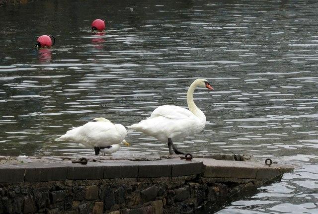 Swans, Torquay harbour