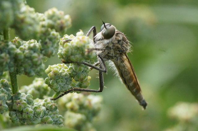 The robberfly Philonicus albiceps, East Links, Dunbar