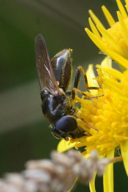 The hoverfly Cheilosia bergenstammi, East Links, Dunbar