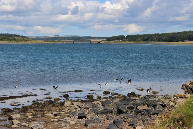 Lapwings at Inches, River Ythan