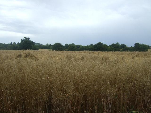 Cereal crop, Alders Farm