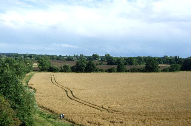 Cereal crop beside the River Wid