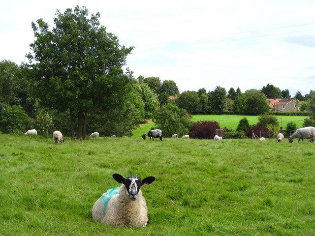 Sheep pasture, Beadlam