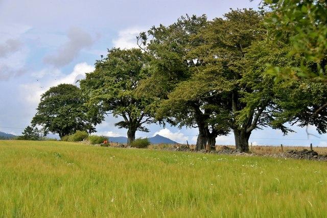 Bennachie peeps through an old tree line