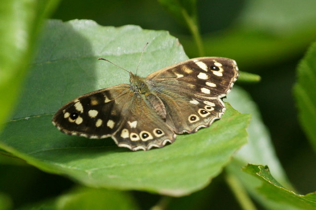 Speckled Wood (Parage aegeria), Levenhall Links, Musselburgh