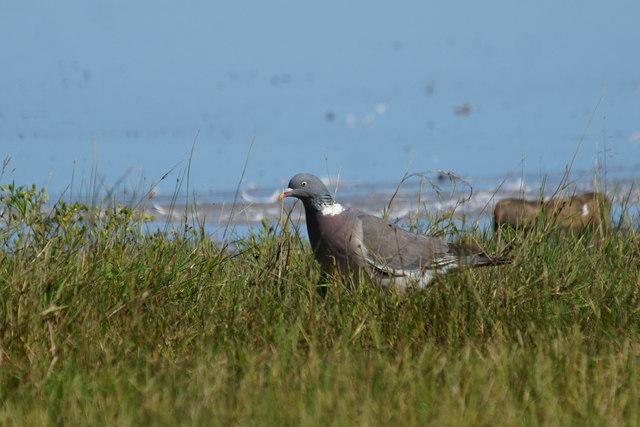 Wood Pigeon (Columba palumbus), Levenhall Links, Musselburgh