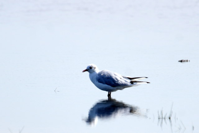 Black-headed Gull (Chroicocephalus ridibundus), Musselburgh Lagoons