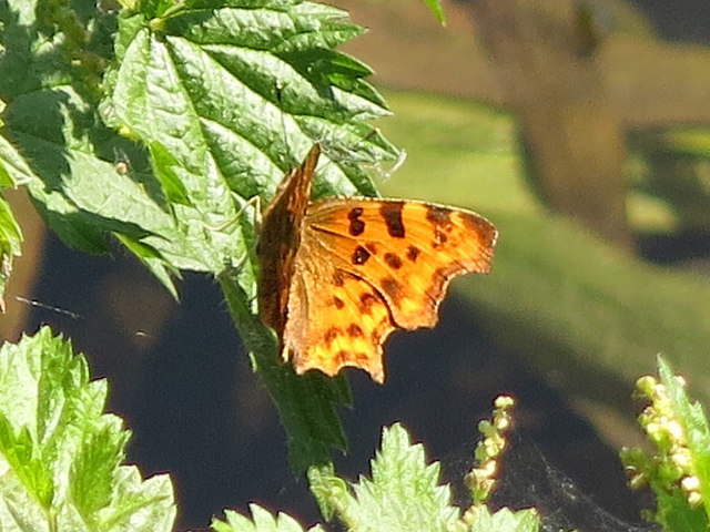 Comma butterfly by the Grand Union Canal