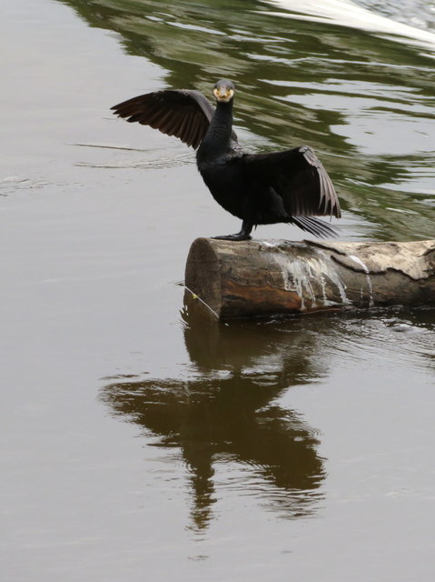Cormorant on a log in the River Dee