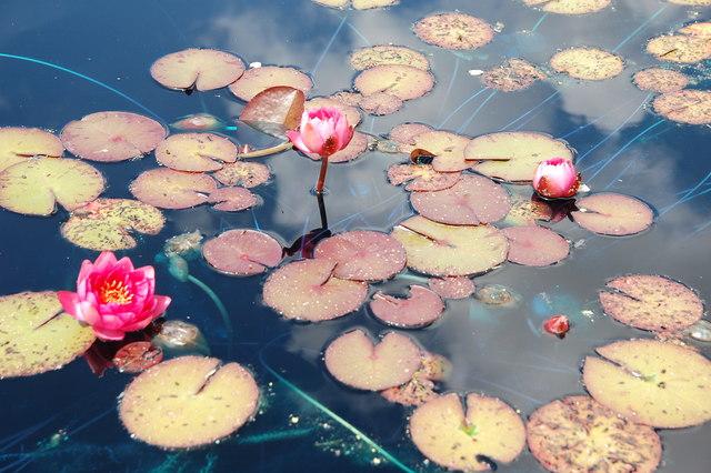 Tintinhull Garden: water lilies