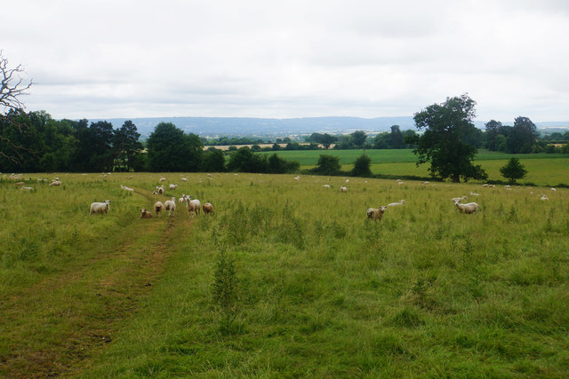 Sheep in Cothelstone Park