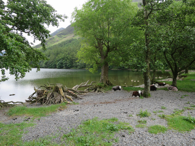 Tree stump and sheep by Buttermere