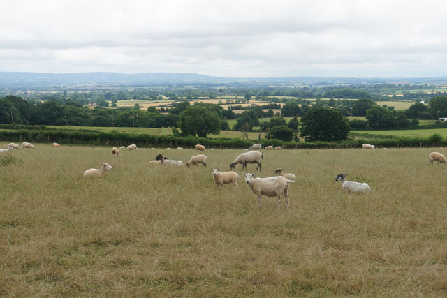 Sheep below West Bagborough