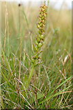 NT4681 : Frog Orchid (Coeloglossum viride), Aberlady Bay by Mike Pennington