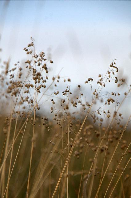 Quaking Grass (Briza media), Aberlady Bay