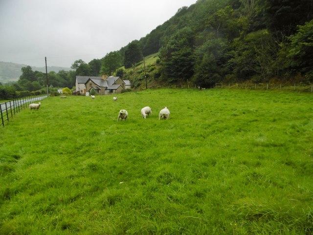 Pontfadog, sheep grazing