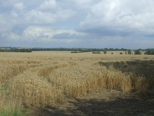 Cereal crop off Bury Lane (B182)