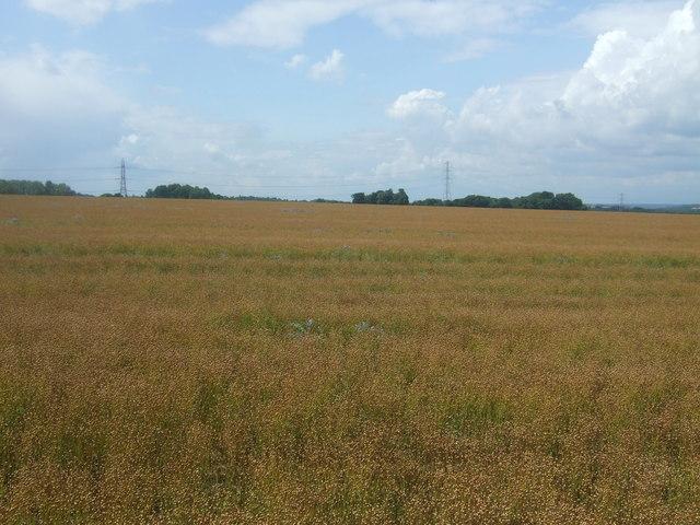 Crop field off Bury Lane (B182)