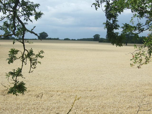 Cereal crop off London Road (B1393)