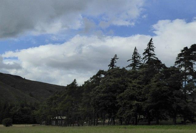 Stand of trees at Laggan