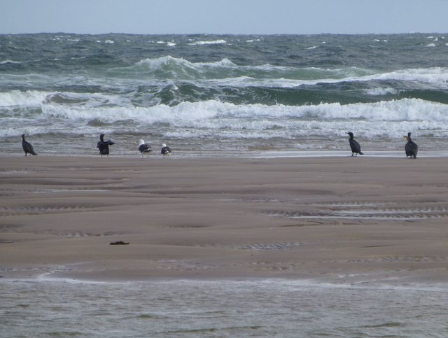 Cormorants and Great Black-backed Gulls