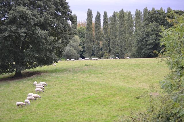 Sheep at Jephson's Farm, Myton, Warwick