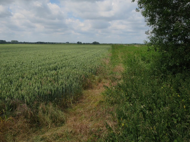 Wheat field, South Walsham Marshes