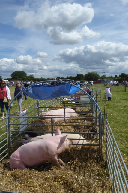Tockwith Show: Pigs