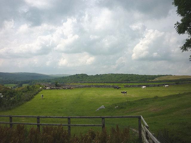 Cattle above Grassington