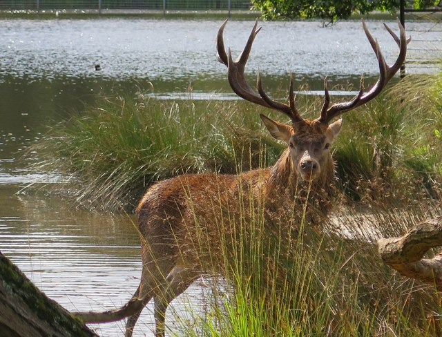 Stag at Pen Ponds, Richmond Park